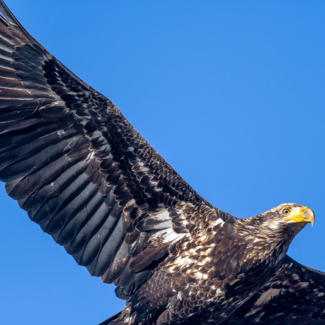 """A young bald eagle flysby and eyes the photographer"" stock image"