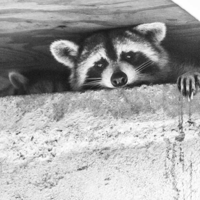 """""""Baby raccoon ventures from nest: mopther comes to the rescue!"""" stock image"""