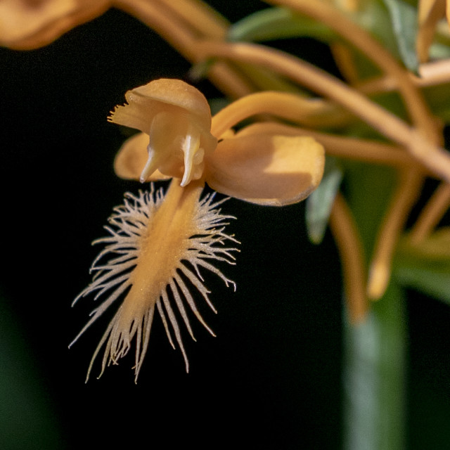 """""""Macro of the the Yellow Fringed Orchid"""" stock image"""