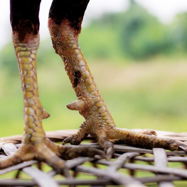 """Legs of gamecocks in farm."" stock image"