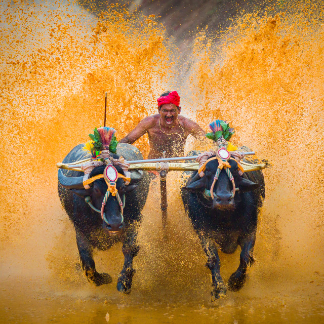 """Buffalo Race/kambala"" stock image"