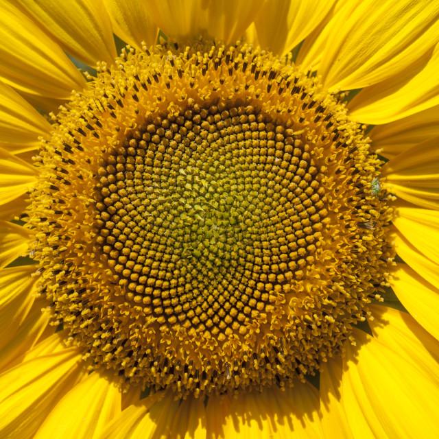 """Sunflower"" stock image"