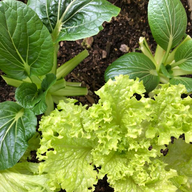 """Pak Choi and Fancy Lettuce Garden"" stock image"