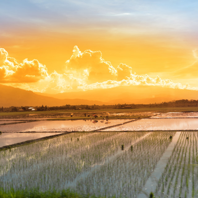 """""""workers in a paddy field at sunset"""" stock image"""