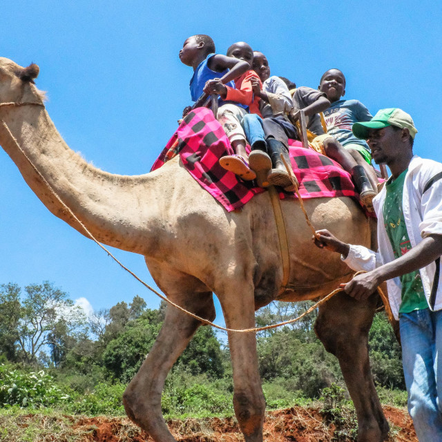 """Local Kids round Kibera Slums happily enjoy their free camel ride."" stock image"