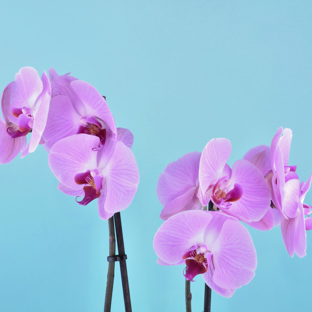 """""""orchid on blue background"""" stock image"""