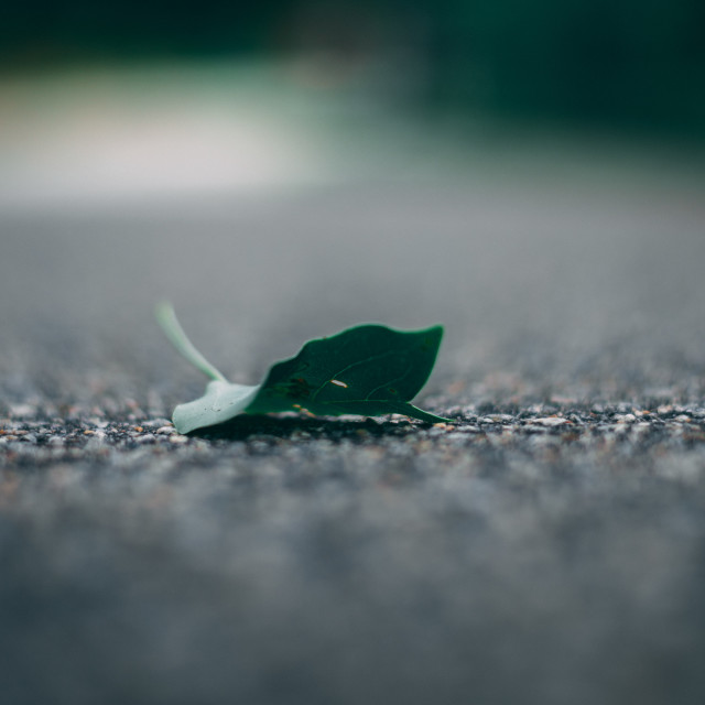 """Leaf on Pavement"" stock image"