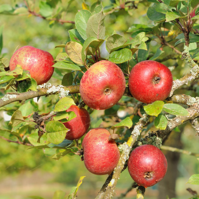 """""""red apples in the tree"""" stock image"""
