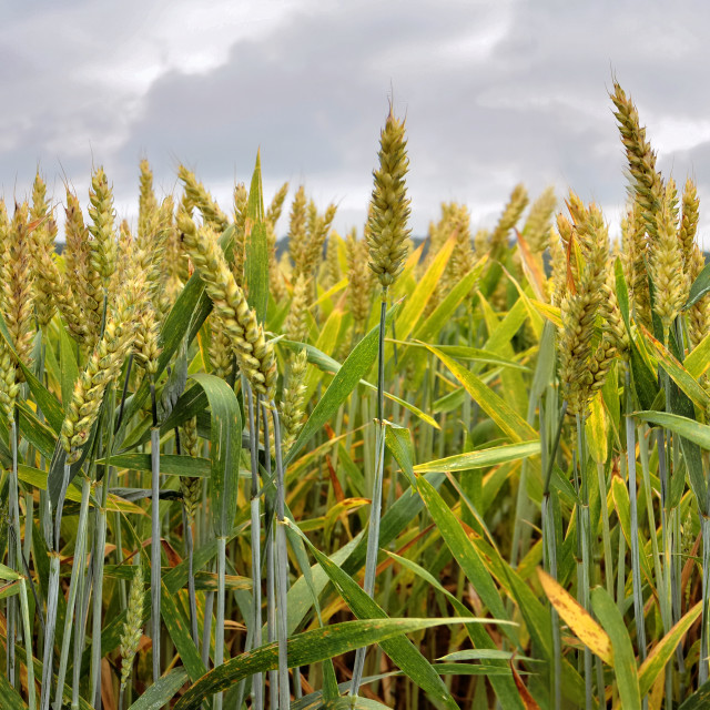 """""""panoramic view on field of wheat"""" stock image"""