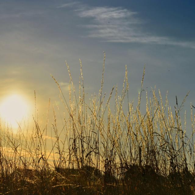 """sunset behinf wild grass"" stock image"