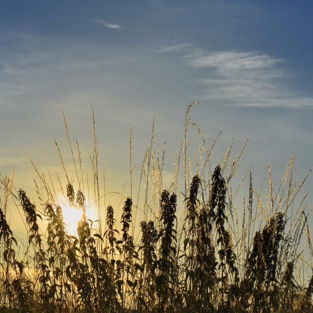 """sunset behind wild grass"" stock image"