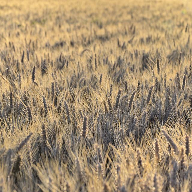 """golden barley t at susnet"" stock image"