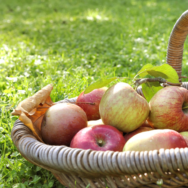 """""""fresh apples in a basket"""" stock image"""