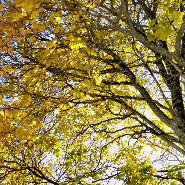 """yellow foliage in autumn"" stock image"