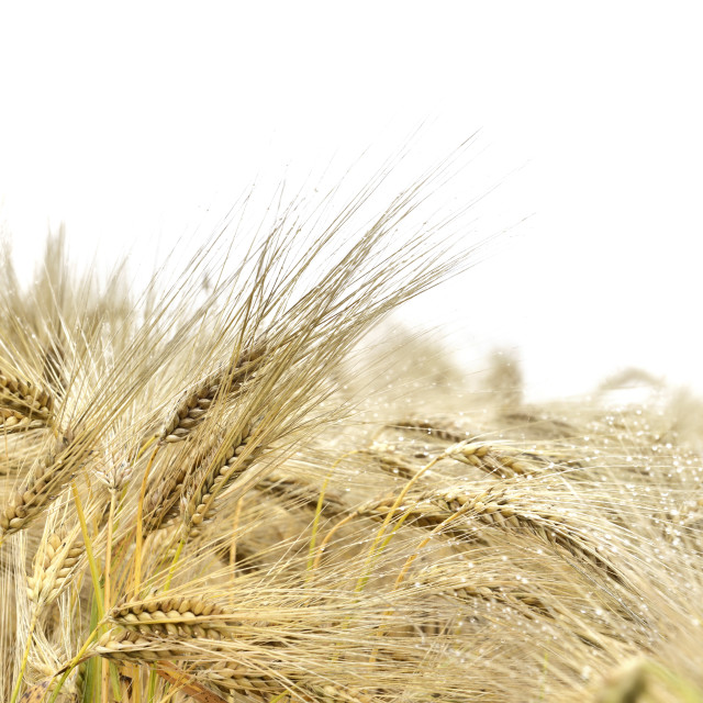 """""""close on ears of wheat"""" stock image"""