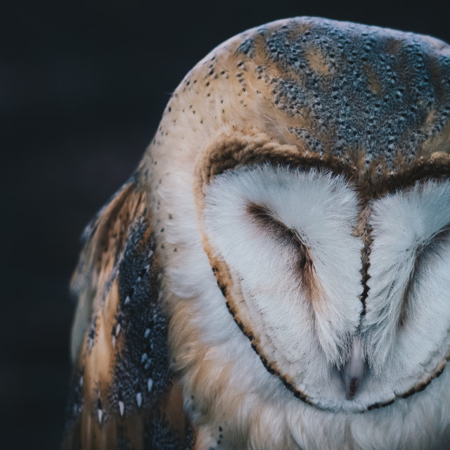 """owl asleep"" stock image"