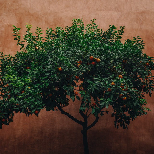 """Spanish Seville oranges"" stock image"