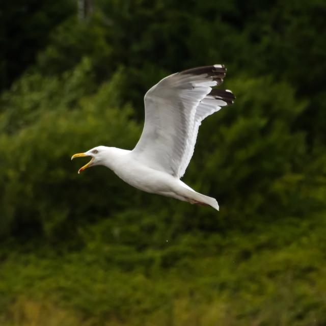 """""""Noisy Gull"""" stock image"""
