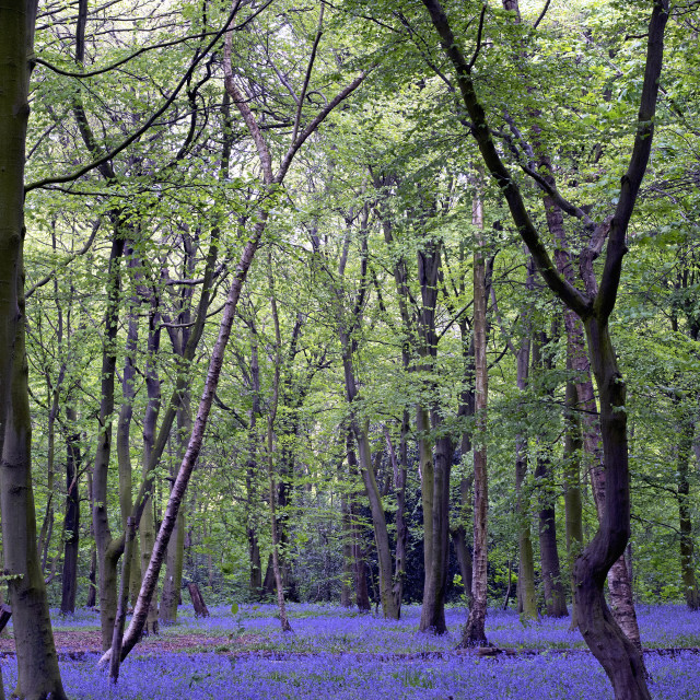 """Blue bell wood"" stock image"