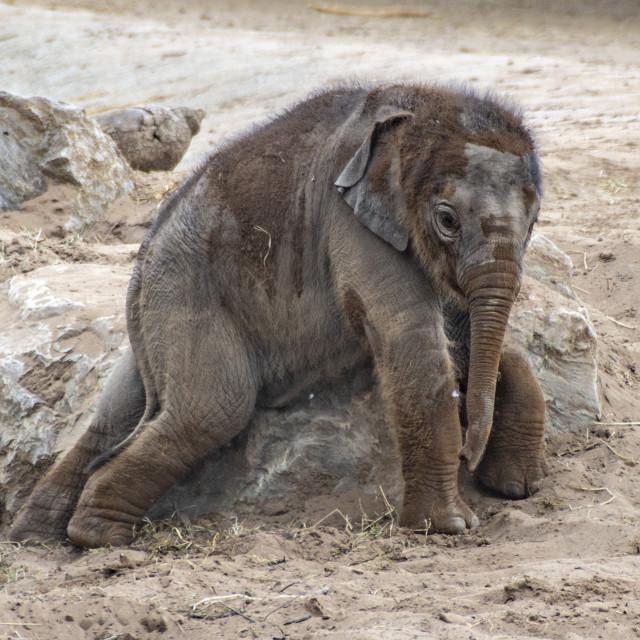 """Asian Elephant Calf Anjan"" stock image"