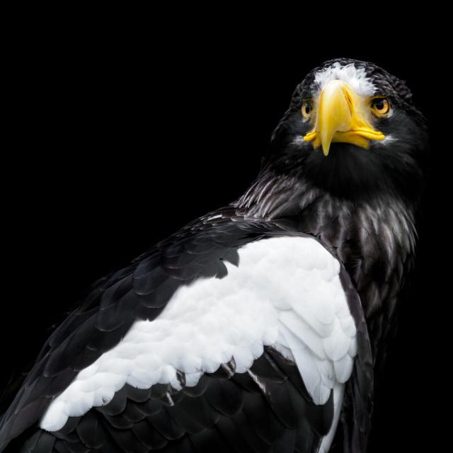 """""""Steller's sea eagle - Haliaeetus pelagicus"""" stock image"""