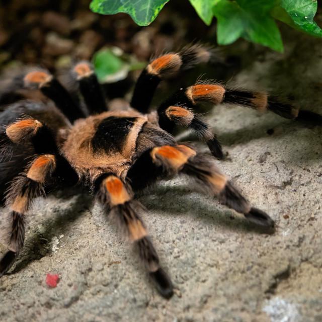 """Tarantula spider close-up. Spider (Brachypelma smithi)"" stock image"