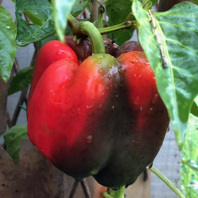"""Ripe Red Bell Pepper"" stock image"