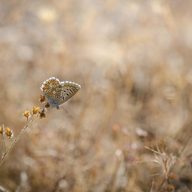 """Adonis blue butterfly, Polyommatus bellargus"" stock image"