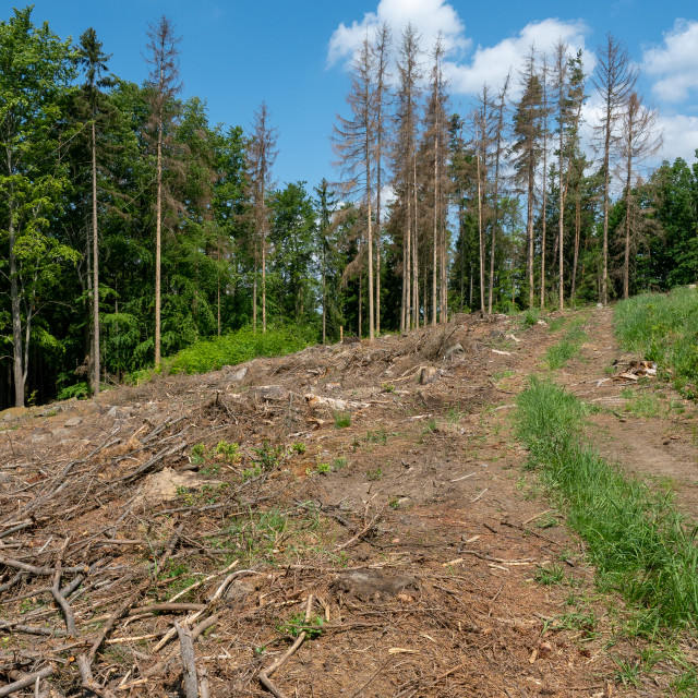 """Road through dead trees. European spruce bark beetle attacked tr"" stock image"