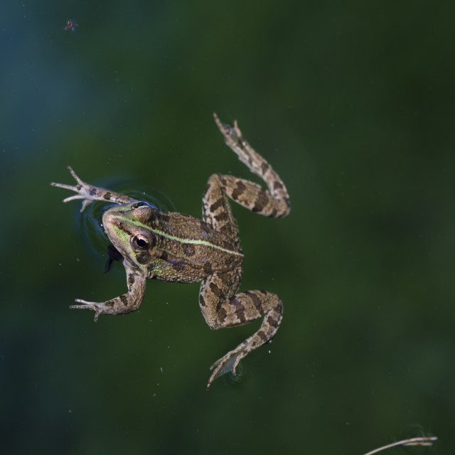 """""""frog in pond"""" stock image"""