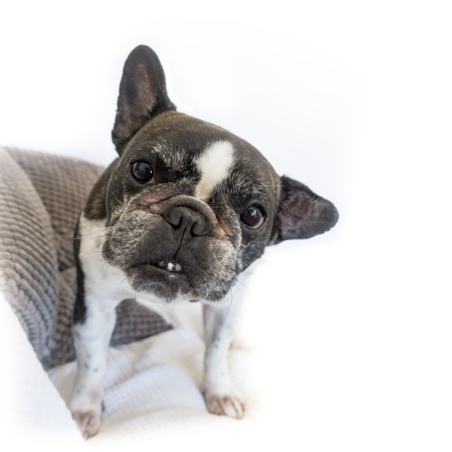 """French bulldog , Black and white coloured,"" stock image"