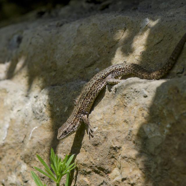"""Viviparous lizard or common lizard, Zootoca vivipara"" stock image"