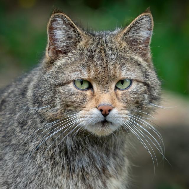 """European Wild Cat (Felis silvestris)"" stock image"