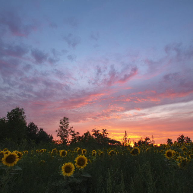 """Sunset over Sunflowers"" stock image"