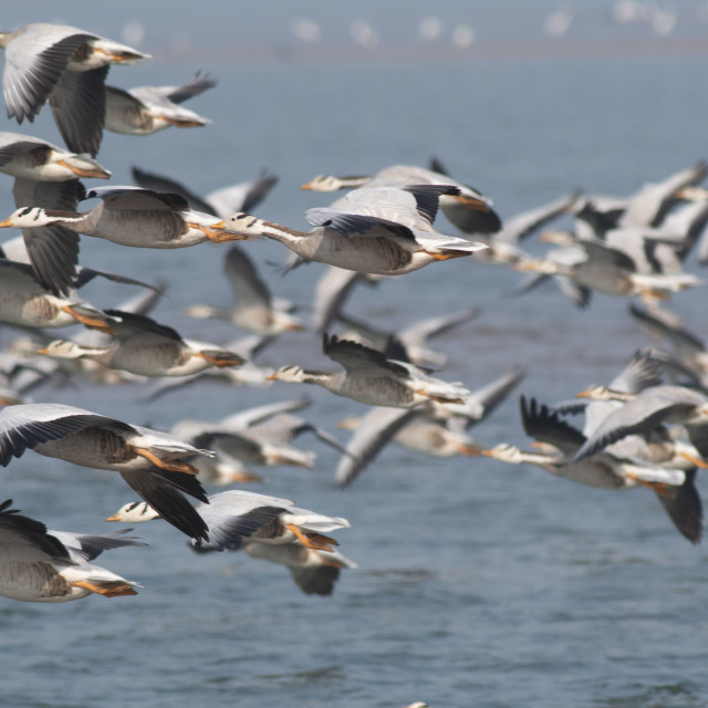 """Flock of Bar headed goose flying"" stock image"