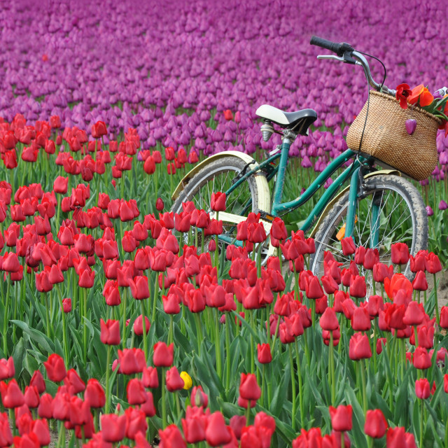 """""""Bicycle and tulips"""" stock image"""