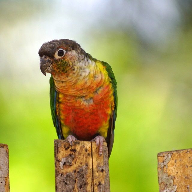"""Colourful Parrot"" stock image"