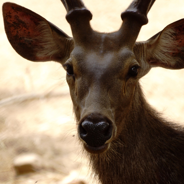 """Potrait of a deer"" stock image"
