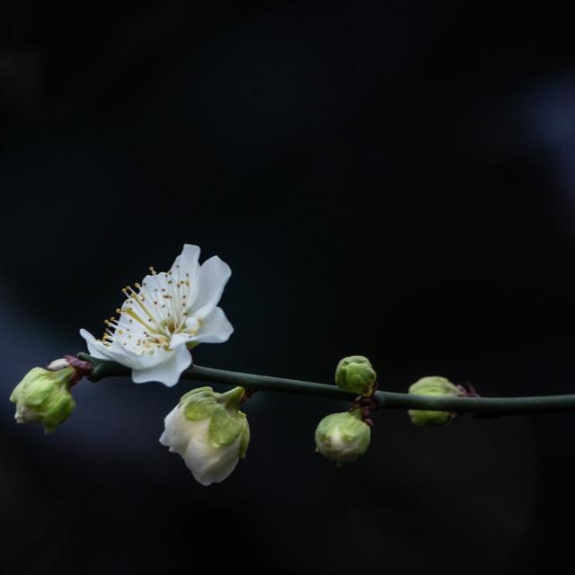 """White Spring Blossom"" stock image"
