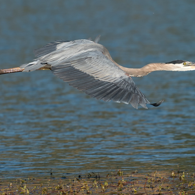 """Great Blue Heron flying over the lake."" stock image"