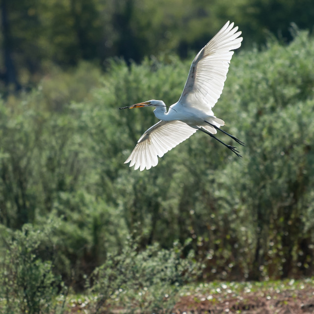 """Great White Egret flying over the lake."" stock image"