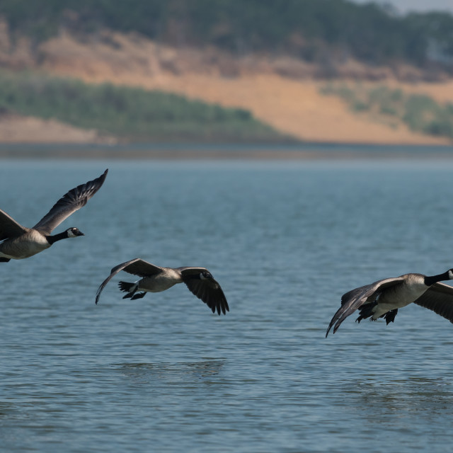"""Canada geese flying over the lake."" stock image"