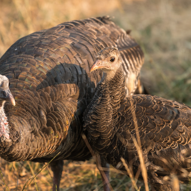 """Wild turkey hen with baby or poult."" stock image"