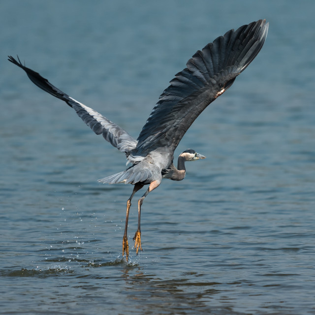 """Great Blue Heron taking off from lake."" stock image"