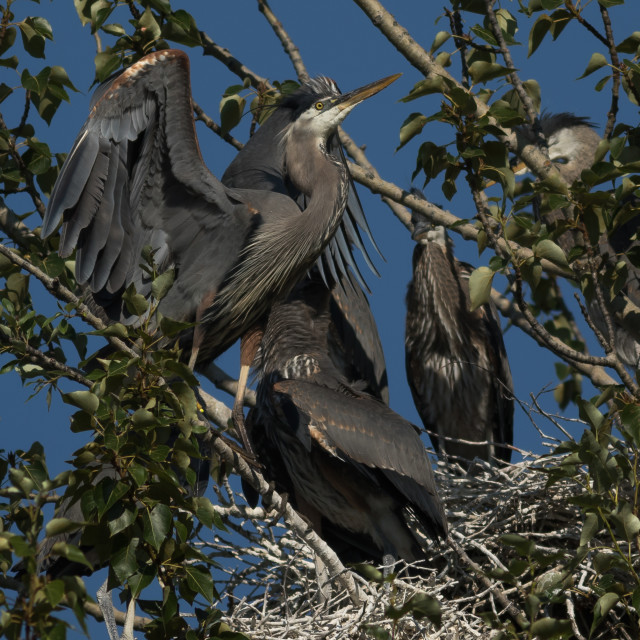 """Great Blue Herons on a nest."" stock image"