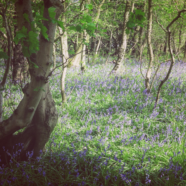 """Bluebell woods"" stock image"