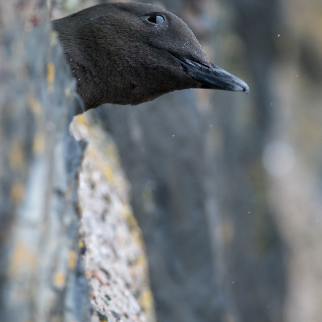 """Black Guillemot (Cepphus grylle) Nesting in harbour wall"" stock image"