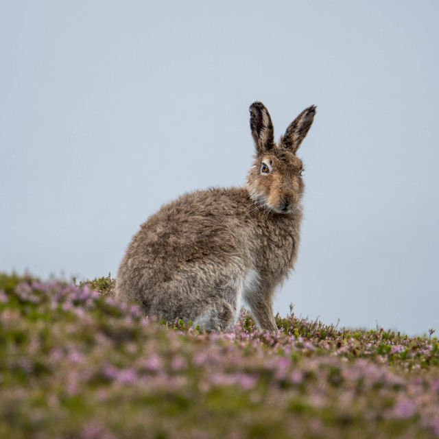 """Wet Mountain Hare (Lepus timidus) sitting on heather"" stock image"