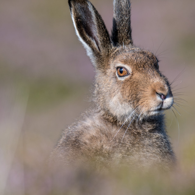 """Close side profile of a Mountain Hare (Lepus Timidus) in summer pelage"" stock image"