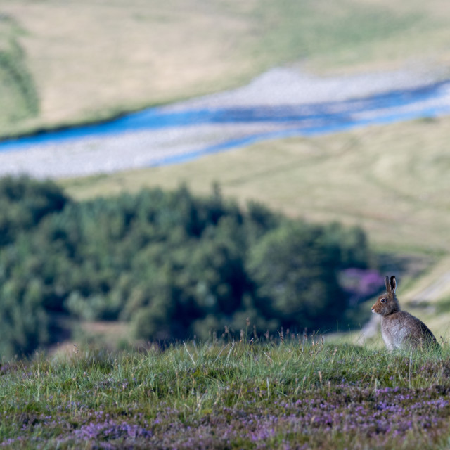 """Mountain Hare (lepus timidus) and view of valley"" stock image"